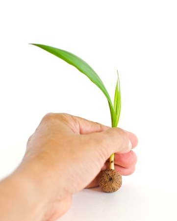 Oil palm seedlings in hand on a white background