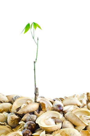 small rubber tree and rubber seeds on a white background  photo