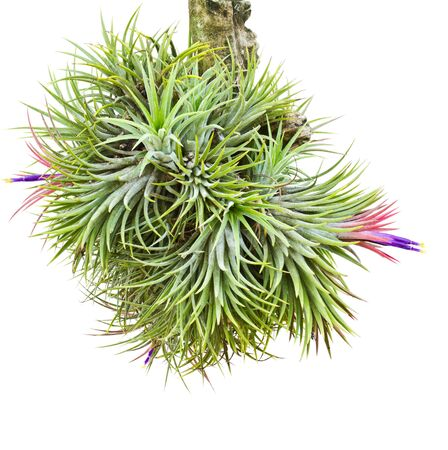 Tillandsia sobre un fondo blanco photo