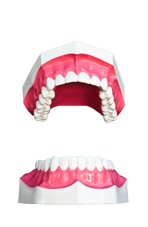 Tooth model isolated on white background  photo