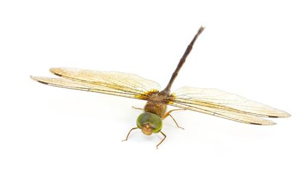 simplicicollis: Dragonfly wings  on white background