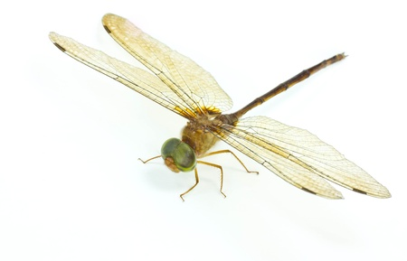Dragonfly wings  on white background