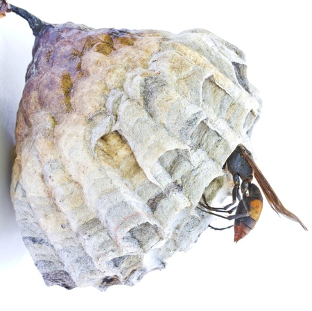 Wasp nest on a white background