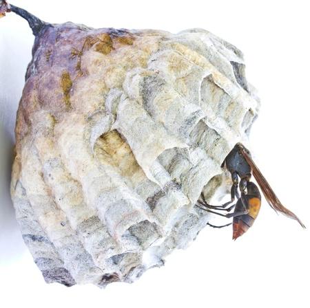 Wasp nest on a white background  photo