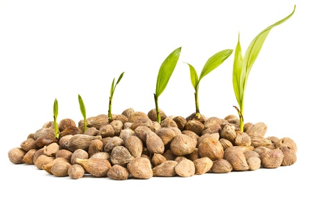 advancement: Palm oil seeds and seedlings on a white background.