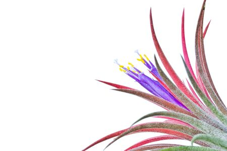 tillandsia: tillandsia on a white background