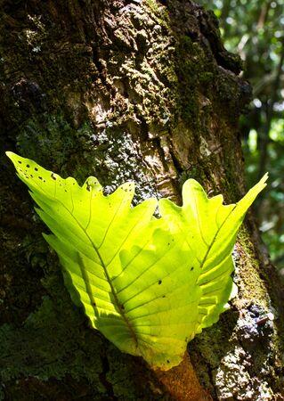 polypodiaceae: Oak-leaf Fern,Ferns in the tropical rainforest  Stock Photo