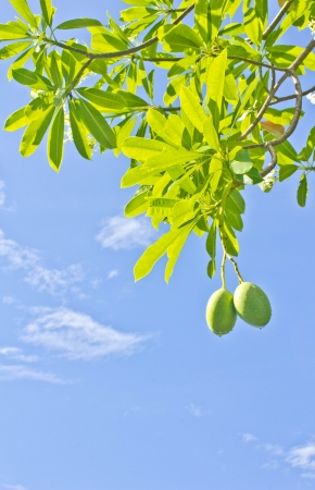 mango tree: Apocynaceae  Leaves and fruit  and blue sky