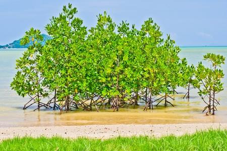 Small mangrove in the sea