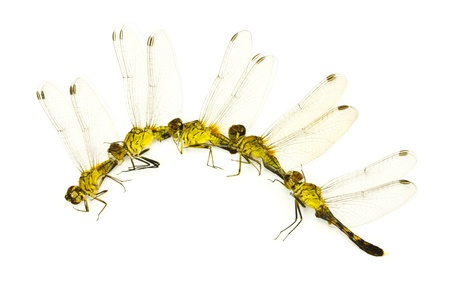 pondhawk: Many Dragonfly on a white background. Stock Photo
