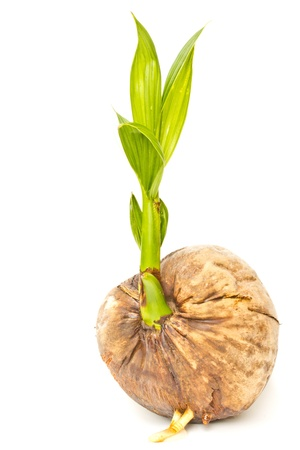 coconut seedlings: Small coconut tree  on a white background.