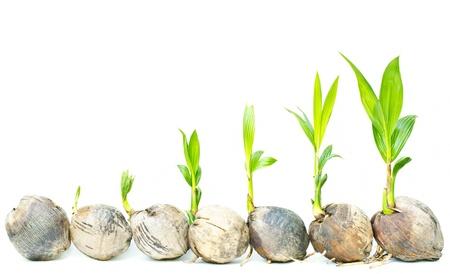 crecimiento planta: Pl�ntulas de palma de coco sobre un fondo blanco.