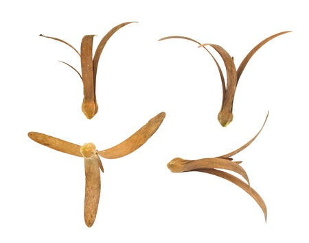 Shorea fruits (Shorea robusta  Roxb.) isolated on a white background. photo