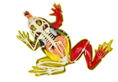 entrails stomach: Frog entrails model on white backgroud. Stock Photo