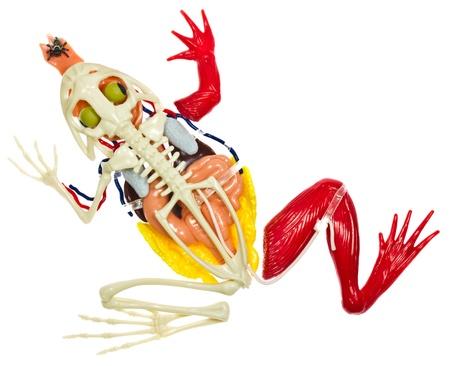 Frog entrails model on white backgroud. Stock Photo - 16843842