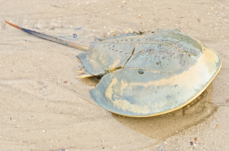 Horseshoe crab dead on the beach. photo