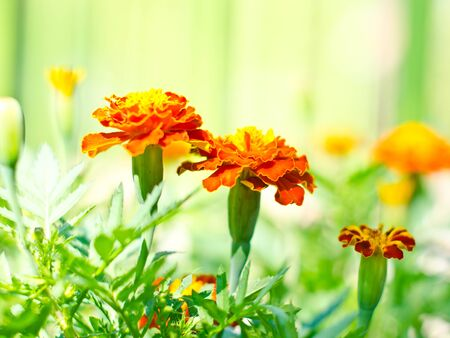 garden marigold: Orange marigold in the garden