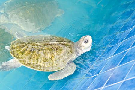 Green turtle  Chelonia mydas  in the Aquarium  photo