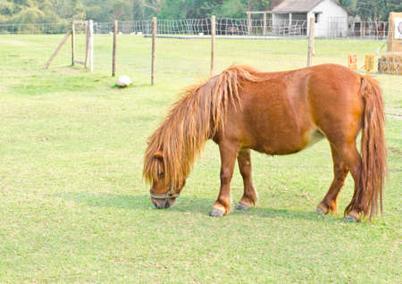 Dwarf horse eating grass in a field  photo