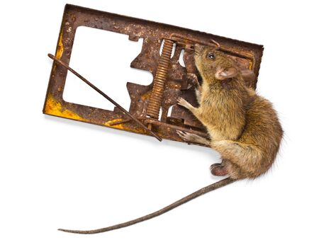 Dead rat in a trap on a white background. photo