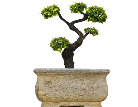 Bonsai treesIn ancient pots  photo