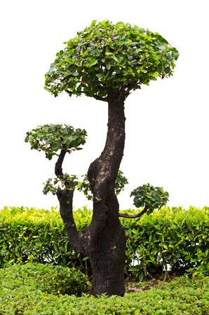 Bonsai trees on a white background  photo