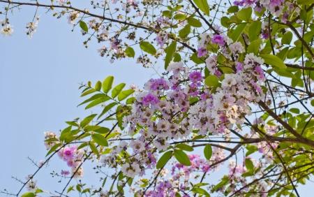 annonaceae: Cananga flower  Cananga odorata  ANNONACEAE Stock Photo