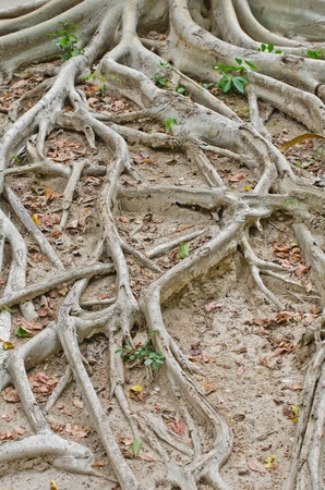 routed: The roots on the ground  Stock Photo