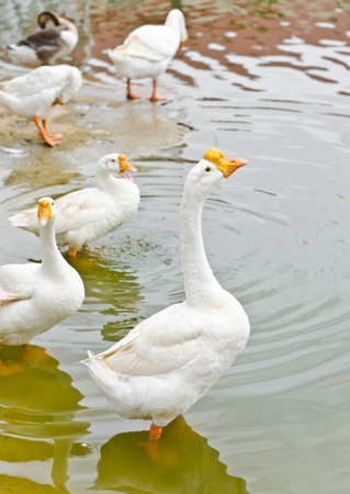 White geese on the water in the farm  photo