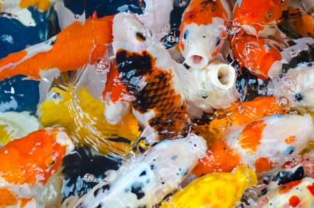 La carpe de Koi dans un �tang photo