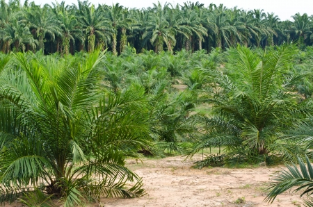 Palm Oil Plantation in the south of Thailand