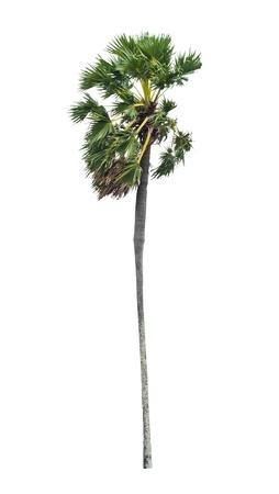 cambodian palm: Borassus flabellifer, conosciuto con diversi nomi comuni, tra cui Asian Palmyra palma, Toddy palma, zucchero di palma, o di palma cambogiana, albero tropicale della Thailandia isolato su sfondo bianco