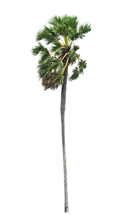 Borassus flabellifer, known by several common names, including Asian Palmyra palm, Toddy palm, Sugar palm, or Cambodian palm, tropical tree  of Thailand isolated on white background Stock Photo