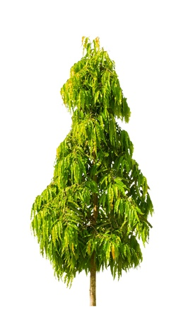 The mast tree , Cemetery tree. (Polyalthia longifolia Benth Hook.f.ver. Pandurata) isolated on white background. Stockfoto