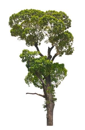 Dipterocarpus alatus, tropical tree isolated on white background