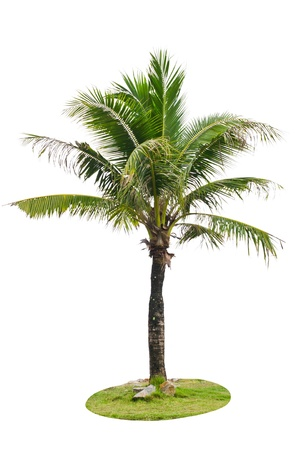 bark palm tree: Coconut palm tree isolated on white background