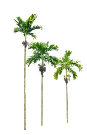 betel palm tree isolated on white background Stock Photo