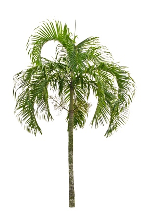 acuminate: Carpentariapalm  Carpentaria acuminate  H  Wendl    Drude  Becc   Isolated on white background