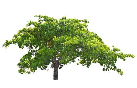 Cashew nut tree  Anacardium occidentale  L   isolated on white background