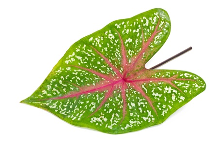 thai-Native Leaf Caladium on white background  Stock Photo