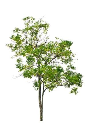 Indian cork tree  Millingtonia hortensis Linn f  on white background