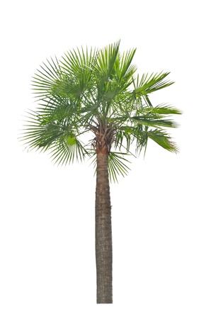 Wax palm Copernicia Alba Palm tree isolated on white background Stockfoto