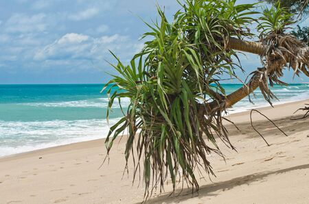 tectorius: Pandanus tectorius or Pandanus odoratissimus  screwpines  at the waterfront of the Indian Ocean Stock Photo