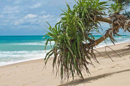 pandanus tree: Pandanus tectorius or Pandanus odoratissimus  screwpines  at the waterfront of the Indian Ocean Stock Photo