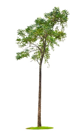 Indian cork tree  Millingtonia hortensis Linn