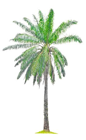 Single old palm oil tree on a white