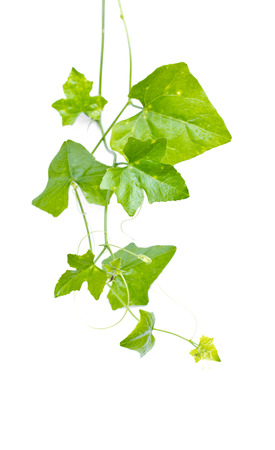 Ivy Gourd  Coccinia grandis  L   Voigt  on white background