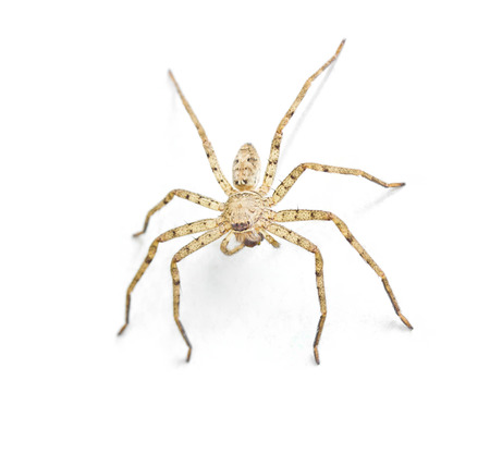 House spider on the dirty wall background