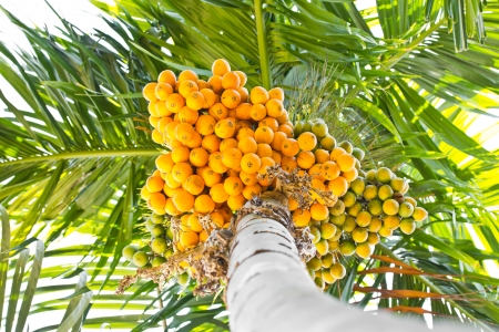 betelnut: Ripe betel-nut  areca  bunch on tree Stock Photo
