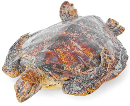Remains of hawksbill sea turtle on white background  photo
